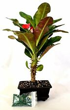 Red Crown of Thorns Bonsai with Water Tray and Fertilizer Euphorbia Splendens