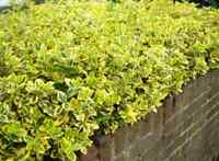 10 Cuttings (unrooted)  Gold Euonymus Shrubs T76,  Evergreen Shrub