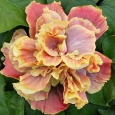 *Queen Of Dreams * Rooted Tropical Hibiscus Plant*Ships In Pot*