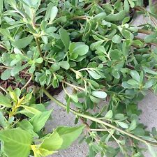 1000 Organic Herb Purslane Fresh Seeds for2018 Edible Health Oleraceous medicine