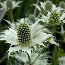 20+ SILVER GHOST ERYNGIUM aka SEA HOLLY FLOWER SEEDS, PERENNIAL FIRST YEAR BLOOM