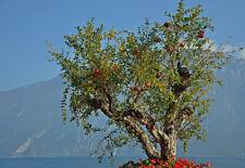 25 Pomegranate Tree Seeds - Punica granatum - Bonsai, Container or Landscape