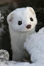 Encadrée Imprimer-Blanc weasel dans la neige (Photo Poster ANIMAL LOUTRE Castor art)