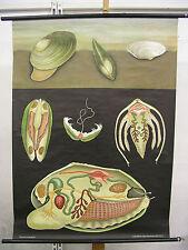 School Wall Picture jkq Pond Clam Shells Gourmet 82x112 ~ 1970 Swan Fastnet
