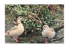 Canvas Print of Egyptian Geese - Wildlife Photography Derek A Briggs