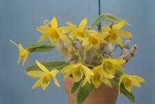 Orchid specie plants Dendrobium senile 1 Plant