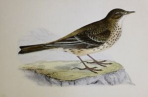 c1875 ANTIQUE PRINT ~ PENNSYLVANIAN PIPIT HAND COLOURED British Birds Morris
