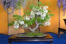 Chinese White Wisteria (wisteria sinensis alba) - 8 Seeds Feature/Bonsai