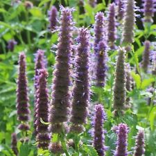 Agastache rugosa 'Liquorice Blue' / Anise Hyssop / Hardy Perennial / 100 Seeds