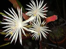 One Established Plant + 2 Cuttings White Epiphyllum Orchid Queen of The Night