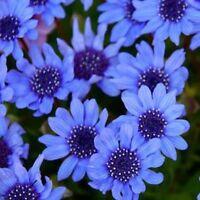 Blue Daisy (Felicia Heterophylla Blue)- 25 Seeds