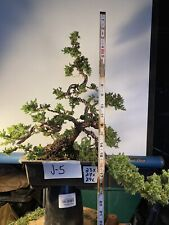 13-14 Bonsai Pro Nana Juniper Bonsai Contaner Contaner ,Upright.