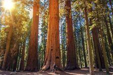 winterhart: der höchste und älteste Baum der Welt: der Berg-Mammut-Baum !
