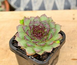 Sempervivum Weirdo Succulent Plant Grown in 7 cm Pot