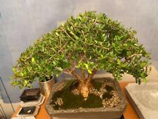 Bonsai Tree - 12 year old olive