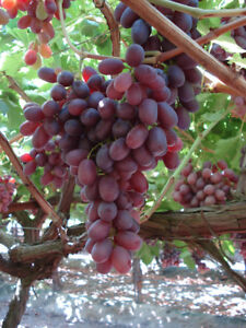 Crimson Seedless Grapes 3 Cuttings