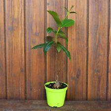 fockea / petopentia natalensis Ø 8cm R 3598 spilly cactus caudex succulente