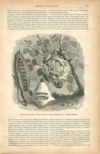 Bouchon Hermétique Nid de Guêpe Polistes gallicus Insecte GRAVURE OLD PRINT 1879