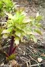 Graines Livèche ,Herbe à Maggi  (bio) 10 graines