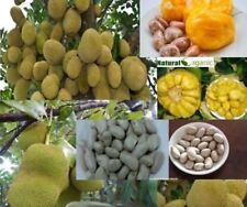 10 PCS Organic Fresh Jack Fruit Seeds Tropical Worlds Largest Tropical