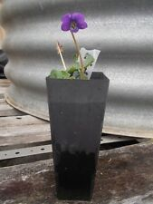 1 x violet plant tube size. viola odorata perennial herb cooking and healing