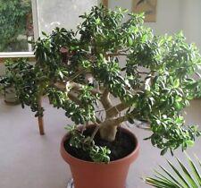 Bonsai Jade Plant (See Description)