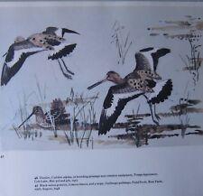 Beau Tunnicliffe Oiseau Imprimé~Noir Faces Godwits