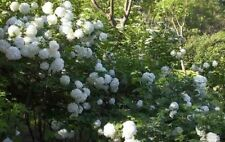 15PCS Elegant White Hydrangea Seeds Viburnum Macrophylla Flower Home Garden