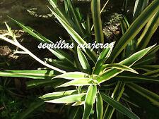 Chlorophytum comosum, cintas,  20 semillas, seeds, graines, samen