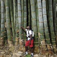 40x Samen Phyllostachys Pubescens Seltene Riesen Moso-Bambussamen Gartenpfl D6V6