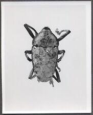 Unusual Vintage Photo Beetle Bug Scientific Specimen Entomology 258149