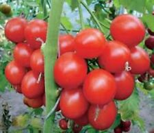Rare Seeds Tree Tomato Zifomandra Organically Grown Russian Heirloom