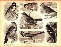 1894 Sparrows Birds,Ornithology Antique Lithograph Print