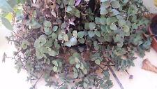 Callisia repens 3 cuttings living house plant