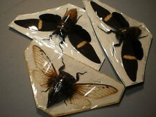 3  insects full data Cicadas different  species 5  1/4  inches  A 1