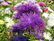 30 Violet Purple Needle Aster Callistephus Unicom Flower Seeds *Comb S/H + Gift