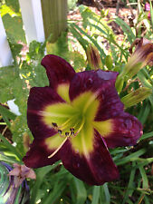 Daylily Night Beacon rebloom Dark purple hemerocallis Perennial ~ Df or 2 Plants