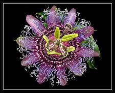 4 graines FRUIT DE PASSION RUSTIQUE Passiflora Incarnata G763 MAYPOP SEEDS SAMEN