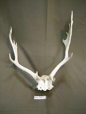 Fallow Skull Antlers and Horns Mason, Texas Deer Hunting Wildlife Ranch SF0024