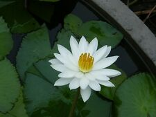 100 SEEDS WHITE NIGHT WATER LILY NYMPHAEA POND PLANT FRESH AND VIABLE NOT LOTUS