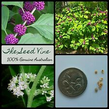 10+ AMERICAN BEAUTYBERRY SEEDS (Callicarpa americana) Fruit Purple Jam Beautiful