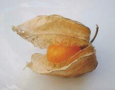 50 SEEDS Uchuva Physalis peruviana Goldenberry
