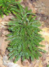 Groundpine - Dendrolycopodium dendroideum spores