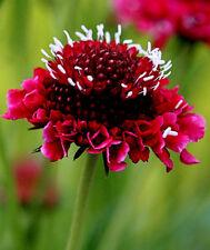 30/100 Seeds Flower Scabiosa Atropurpurea Red / Scabiosa Gardens