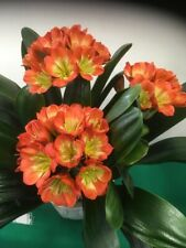 3x Clivia Miniata Green Throat seeds. UK National Collection holders
