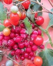 ♫ TOMATE GROSEILLE 'Petit Moineau' - Solanum ♫ Graines ♫ Fruit Délice Gustatif ♫