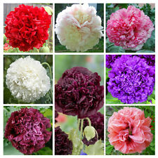 Peony Poppy Double Mix 1,000 seeds Papaver paeoniflorum CombSH
