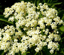 BUTTERFLY WEED WHITE Asclepias Incarnata - 20 Seeds