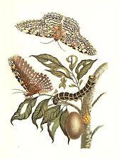 "1977 VINTAGE LAROUSSE ""SOUTH AMERICAN OWLET MOTH"" WOW COLOR Art Print Lithograph"