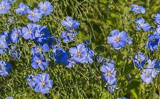 """Blaue Staudenleine """"Linum perenne"""" eignet sich gut zur Dachbepflanzung."""